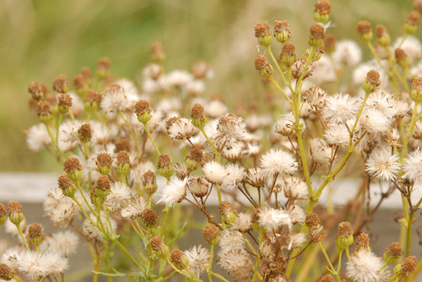 Ragwort Seed Head